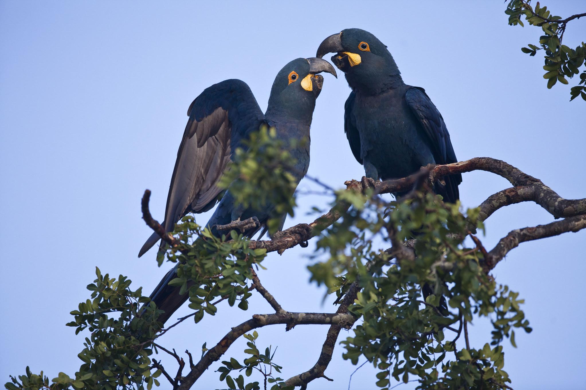 Jeremoabo_BA, Brazil.  Serra Branca farm in Jeremoabo, Bahia, Brazil. In this photo Lear's Macaw (Anodorhynchus leari) in caatinga biome.  Foto: JOAO MARCOS ROSA / NITRO